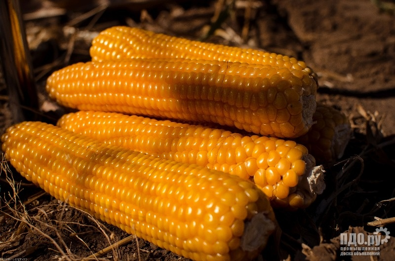 Семена силосного сорта подсолнечника и гибридов кукурузы на зерно и силос