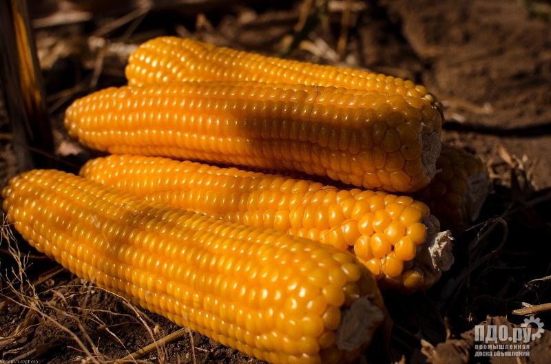 Семена силосного сорта подсолнечника и гибридов кукурузы на зерно и силос!