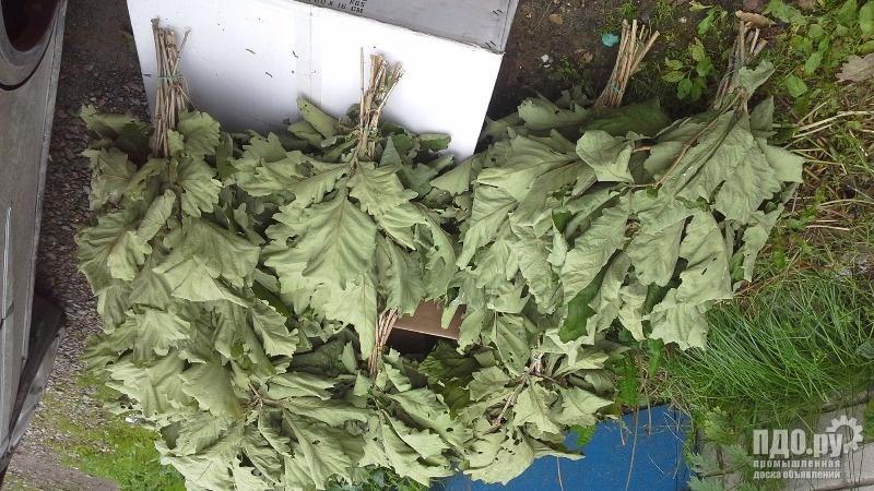 Продам банный веник  дуб Дентата особо крупный лист сорт высший доставкой в любой пункт