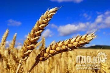 Семена озимой пшеницы сорт Алексеич, Баграт, Гурт, Стан, Гром, Танаис, Табор,Таня