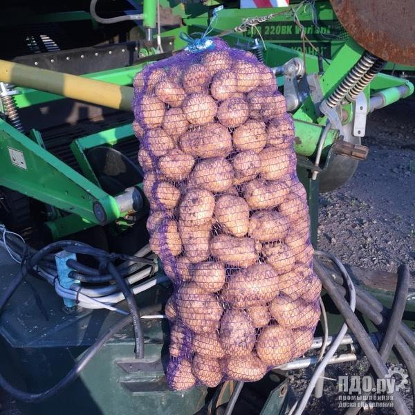 Сорт картофель Ривьера
