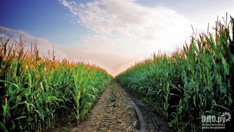 Семена кукурузы от производителя Росс140, Катерина, Росс 199, Краснодарский 194, Краснодарский 291,