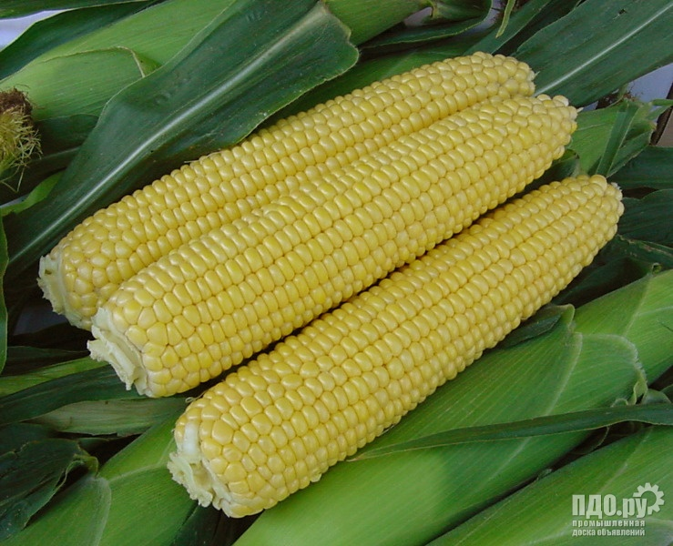 Семена кукурузы РОСС 140, 199, Краснодарский 194, 35 рублей кг