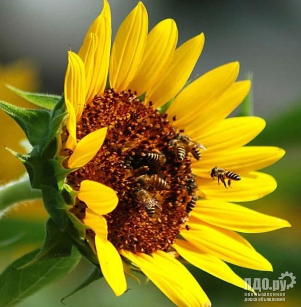 Семена подсолнечника крупноплодный сорт Лакомка