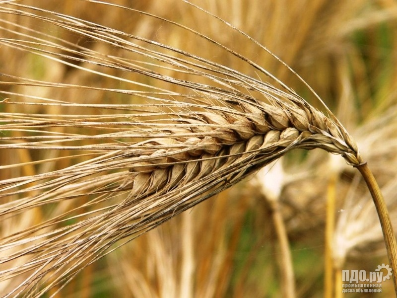 Пшеница!Ячмень!Горох!Лён!