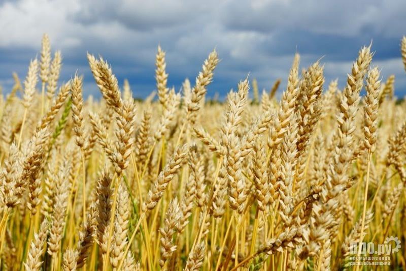 Семена яровых культур-пшеница, лен, вика