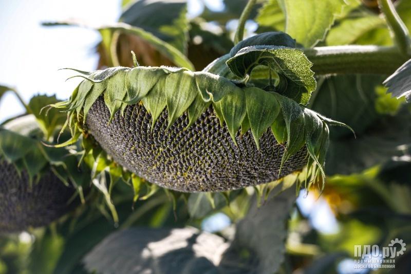 Семена подсолнечника высокоурожайные гибриды и сорта