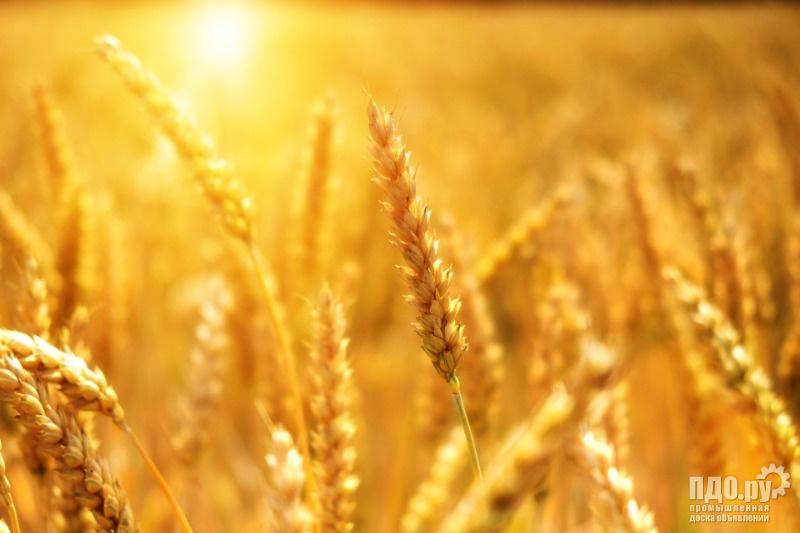 Пшеница 4 класса от производителя.