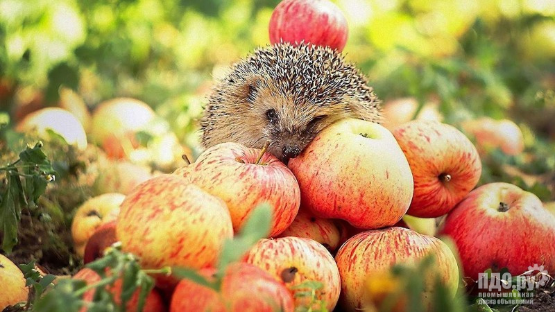 Куплю яблоки !!!!!!!!!!