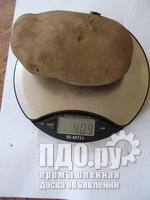 Картофель Отборный Особо Крупный 300-500г Каждый Клубень Закупаем Оптом