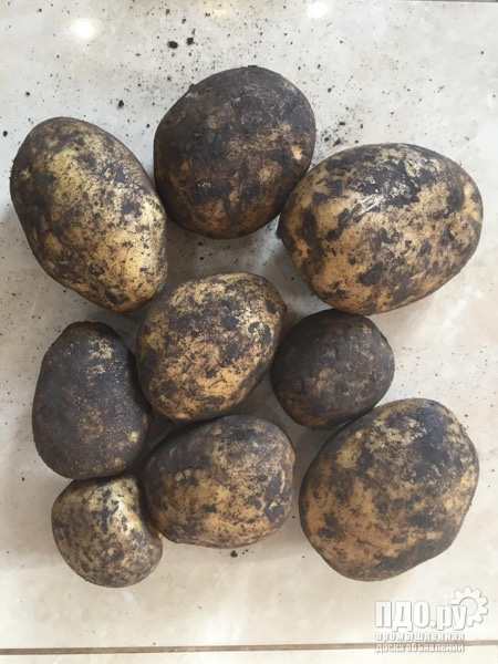 Картофель с чернозёмных полей